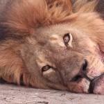 walter palmer cecil lion löwe simbabwe getötet jagd safari hwange nationalpark Maskottchen grosswildjagd jäger Zahnarzt Theo Bronkhorst Pfeil und Bogen sozialisierung männlichkeitswahn